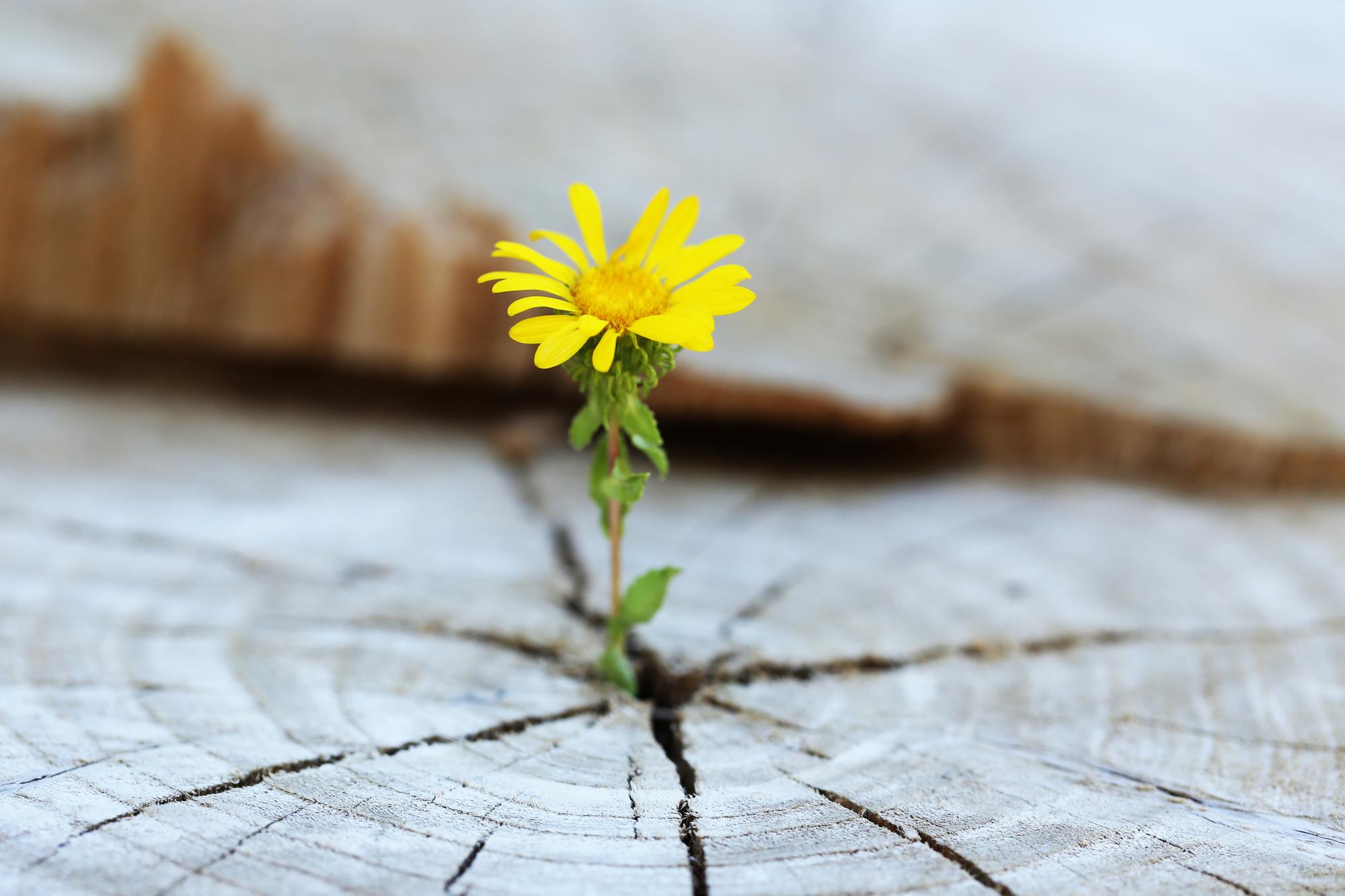 Emerging flower
